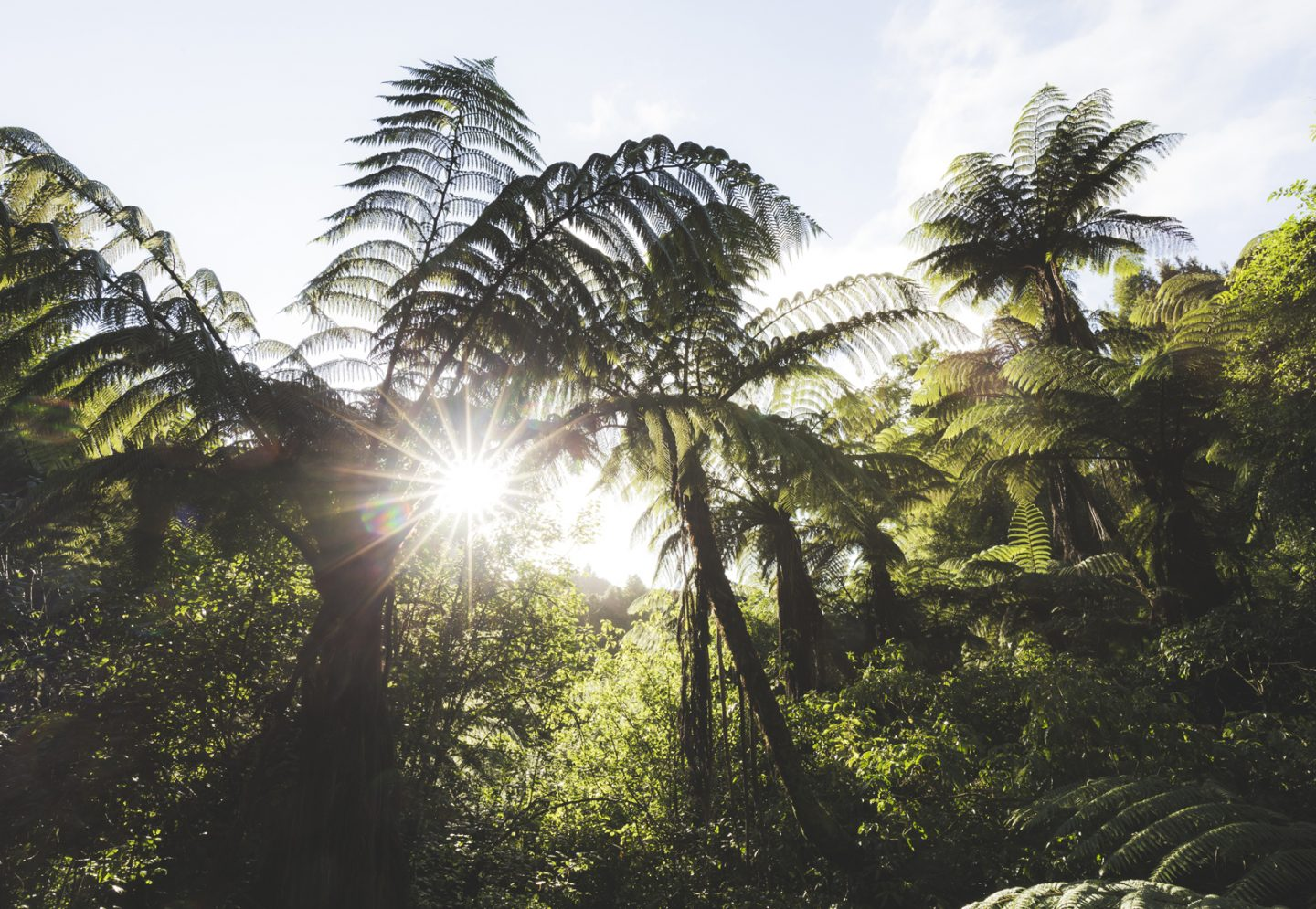 Picturesque native ferns (ponga)