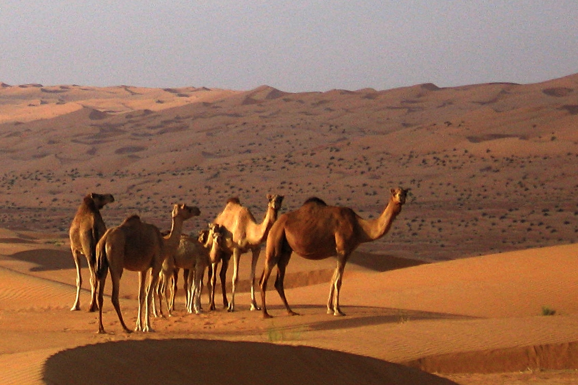 Wild camels roaming free